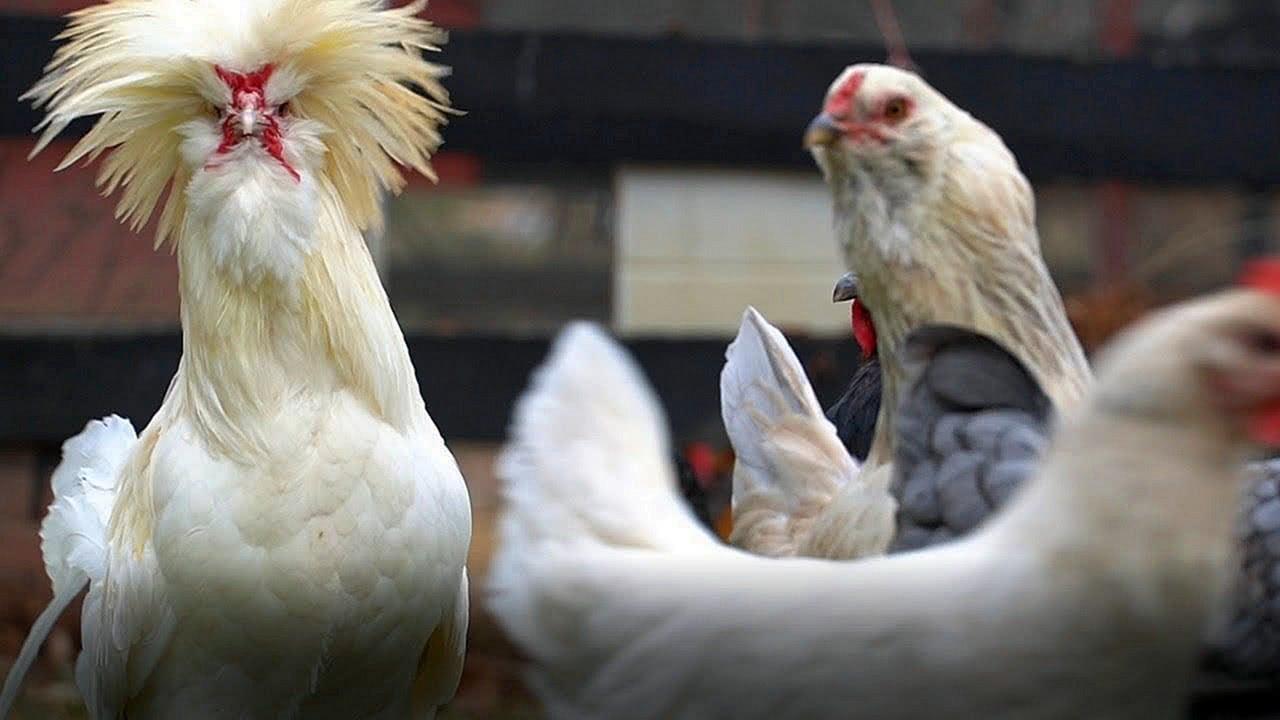 Brazen Brits Live Chicken Cam Screensaver