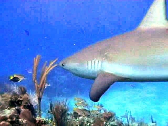 Sharks Underwater Video - Great Screensaver