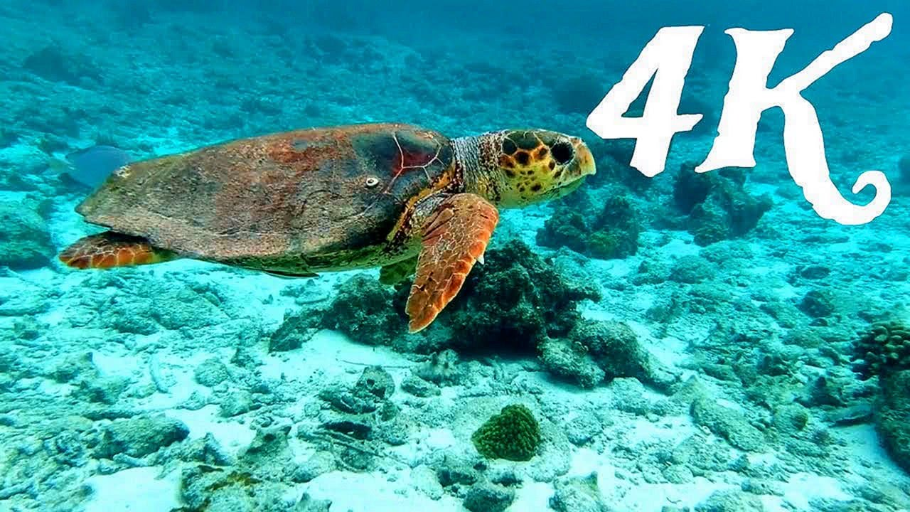 Giant Sea Turtle Underwater 4K UHD Screensaver
