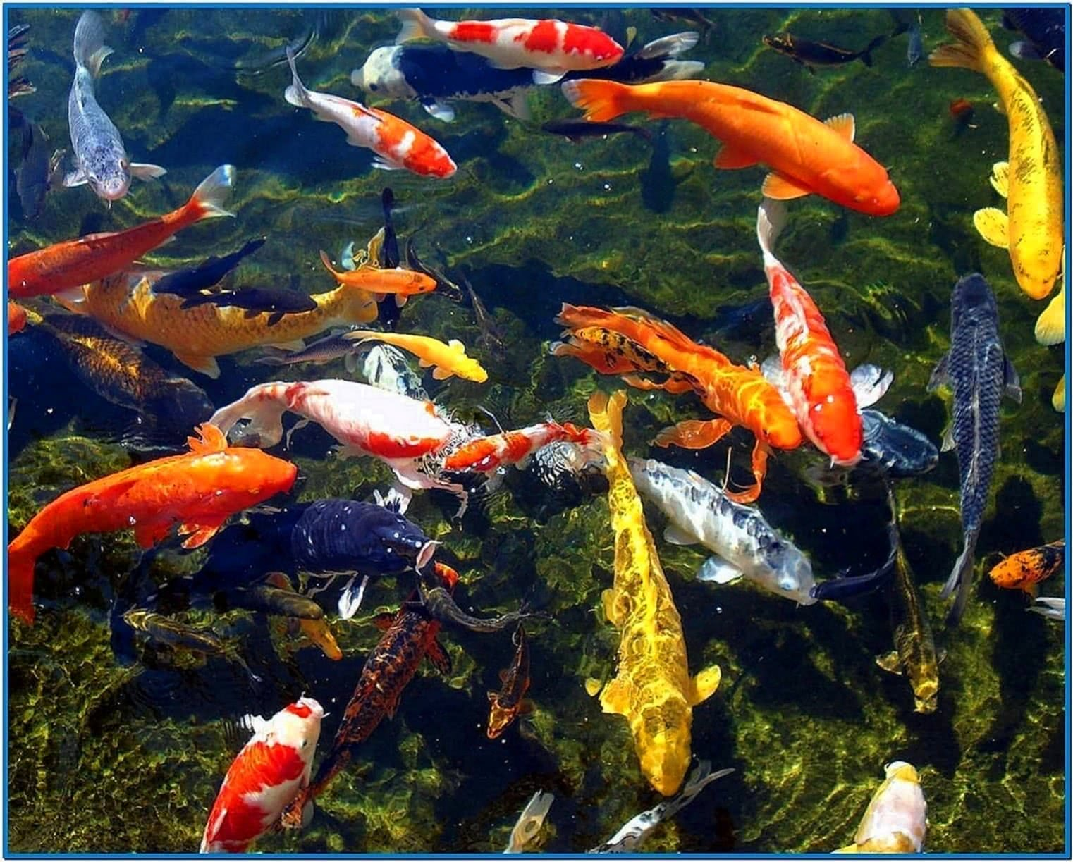 Koi fish pond screensaver download free for Koi pond pics