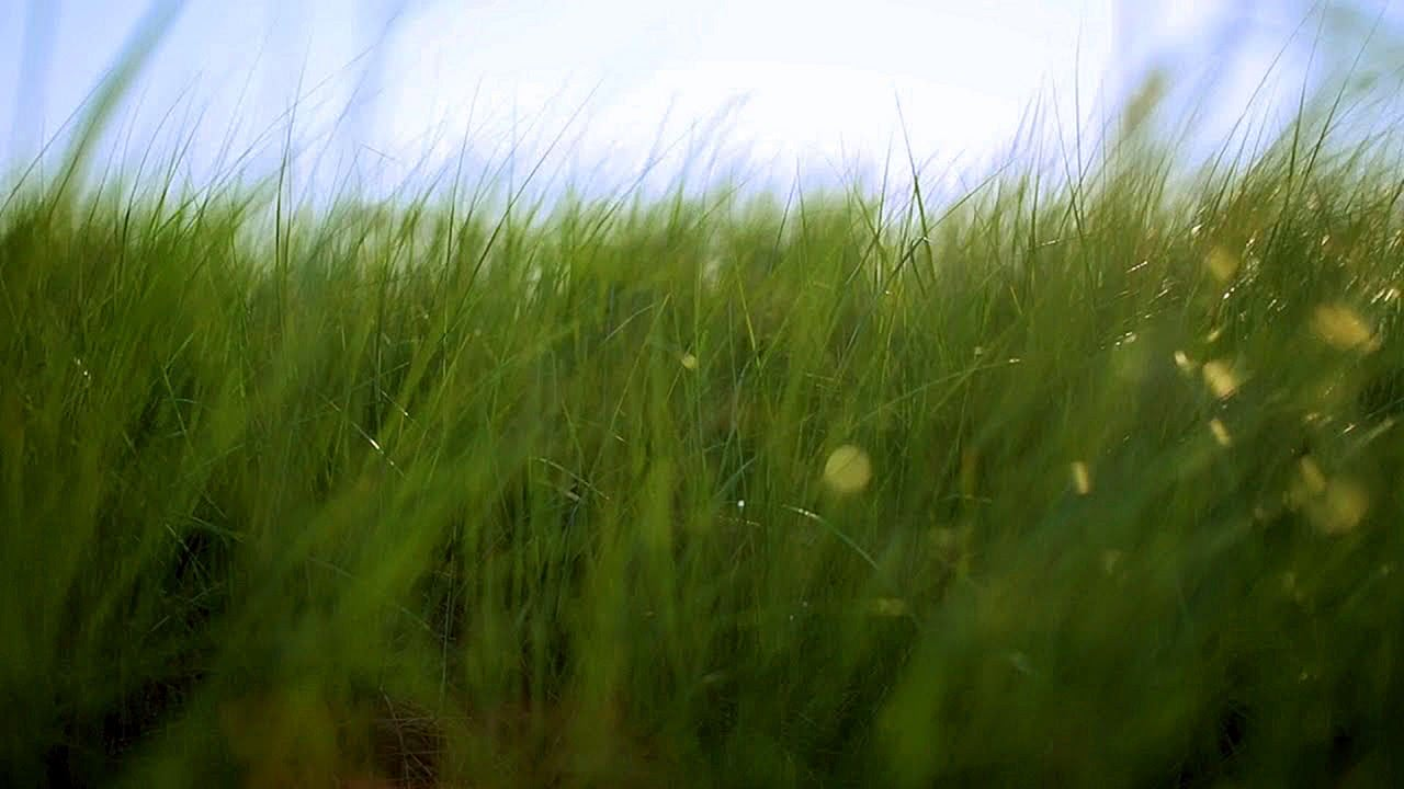 Video Tall Grass in the Wind